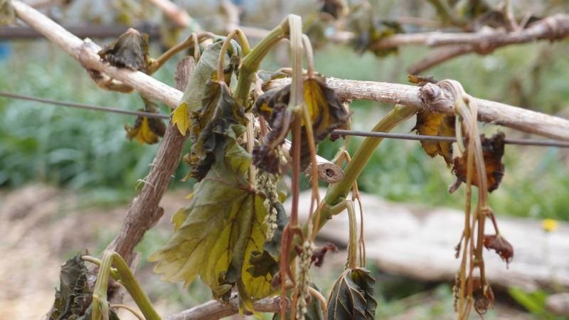 Что делать, если виноград подмерз весной