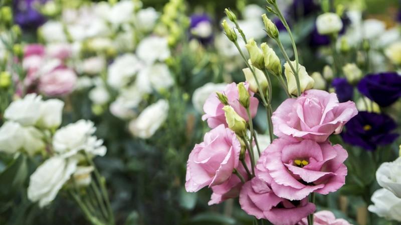 Эустома многолетняя: как вырастить ирландскую розу