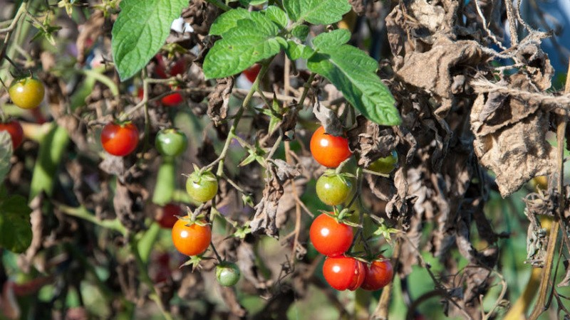 Фитофтора у томатов в теплице: почему возникает и как с ней бороться