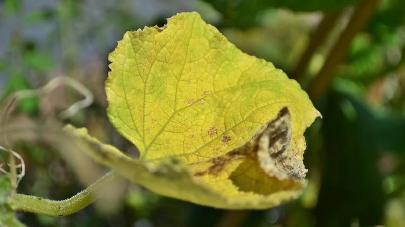 Что нужно делать, когда листья у огурцов желтеют
