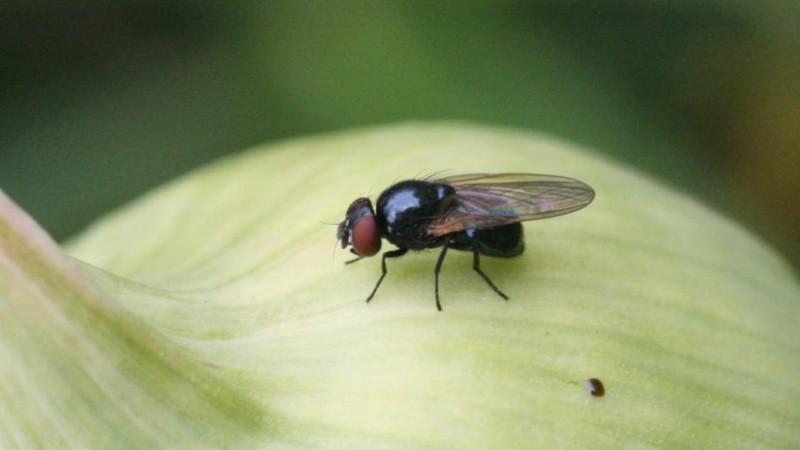 Как быстро избавиться от луковой мухи в огороде