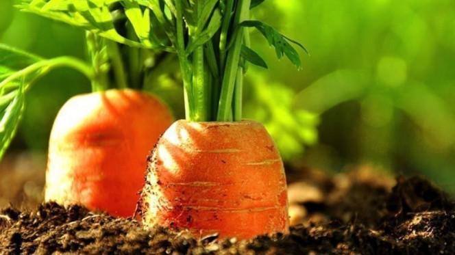 Как подкормить морковь дрожжами