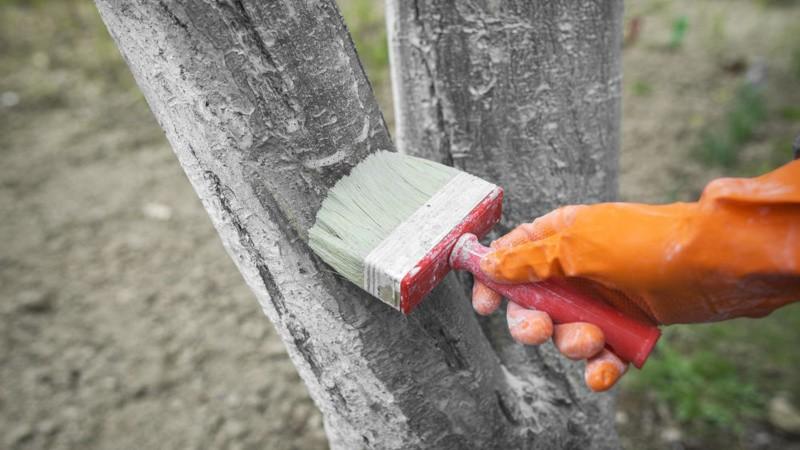 Когда лучше белить деревья в саду