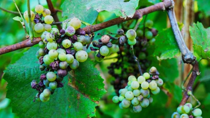 Милдью на винограде: признаки заболевания и методы лечения