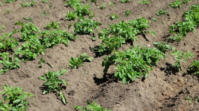 Расчет нормы посадки картофеля на 1 сотку