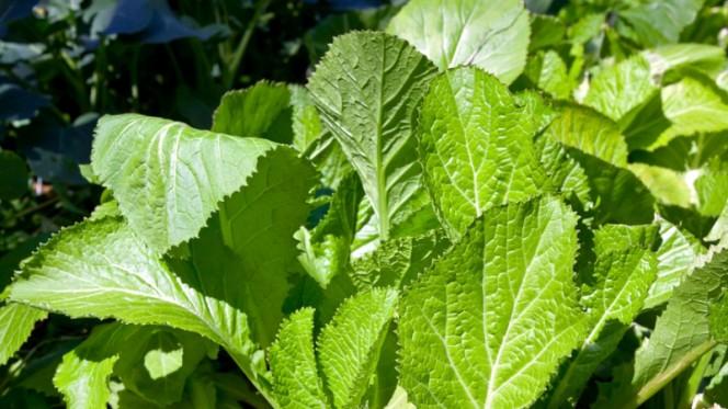 Салатная горчица листовая: сорта и полезные свойства