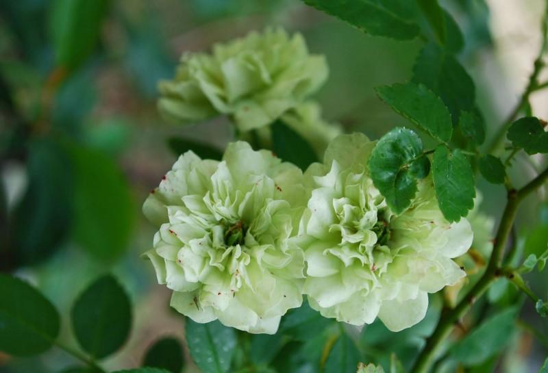 Зеленая роза: характеристика сортов и советы по уходу