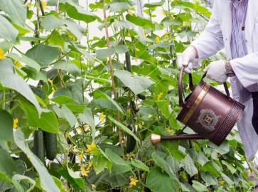 Подкормка огурцов луковой шелухой: как использовать, полив и опрыскивание