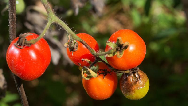 Фитофториоз томатов