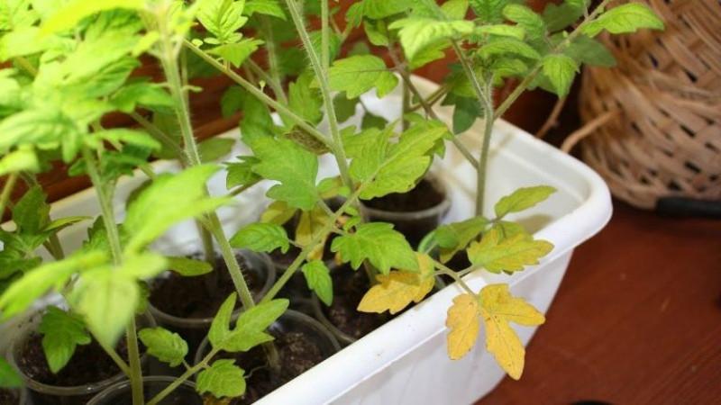 Желтая рассада помидоров