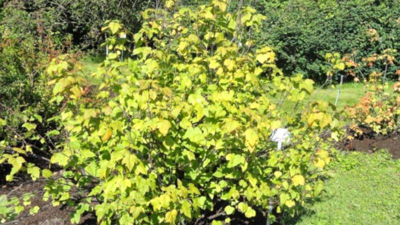 Желтые листья на кусте смородины