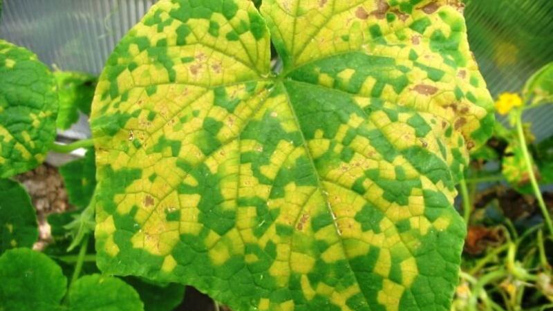 Желтые листья огурцов