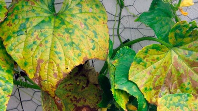 Листья в желтых пятнах