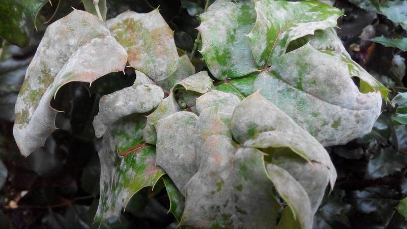 Белый налет на листьях