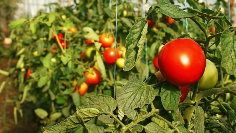 Почему чернеют верхушка у рассады помидоры