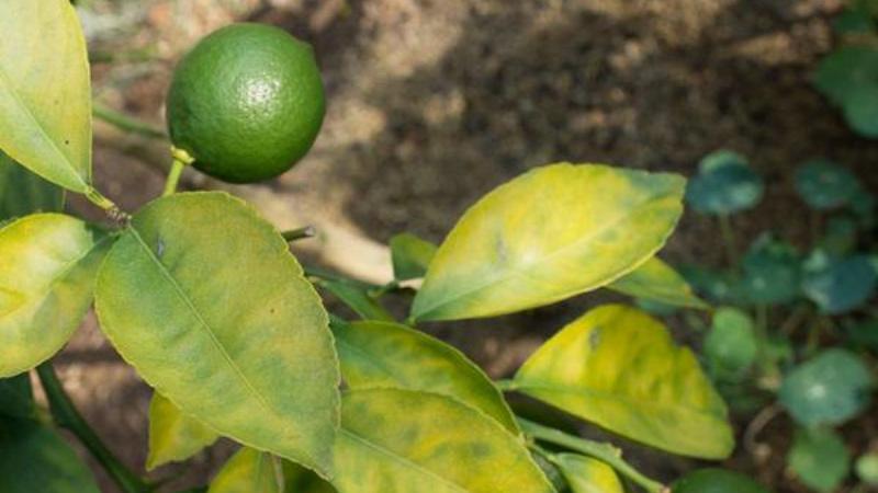Желтые листья на лимоне