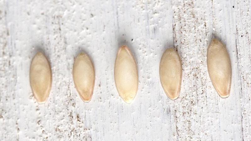 Как готовить семена огурцов к посадке в открытый грунт?