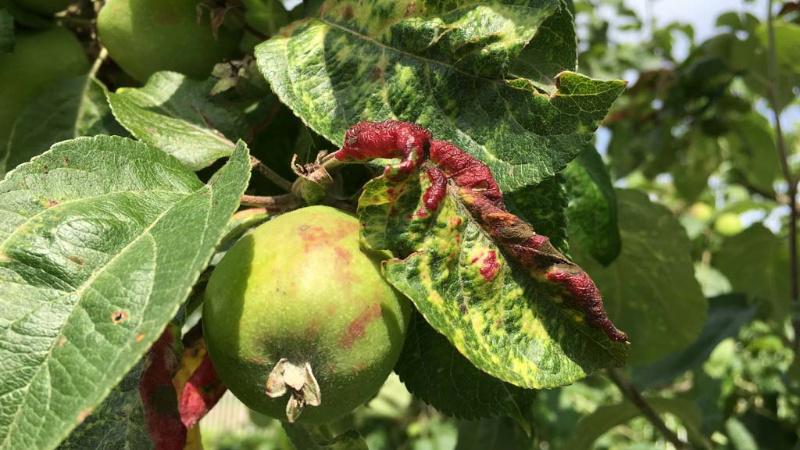 Красноголовая тля на яблоне