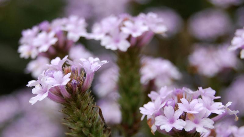Жесткий сорт растения