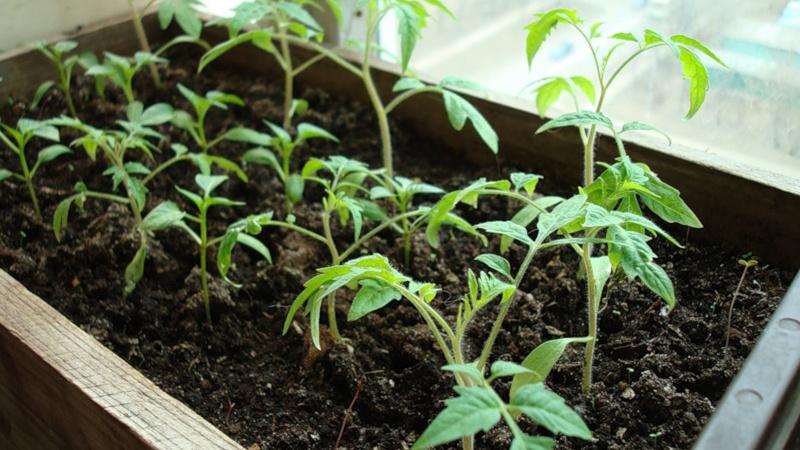 Рассады томатов в деревянном ящике