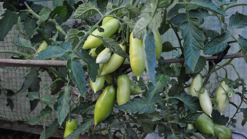 Зеленые томаты Пальмира