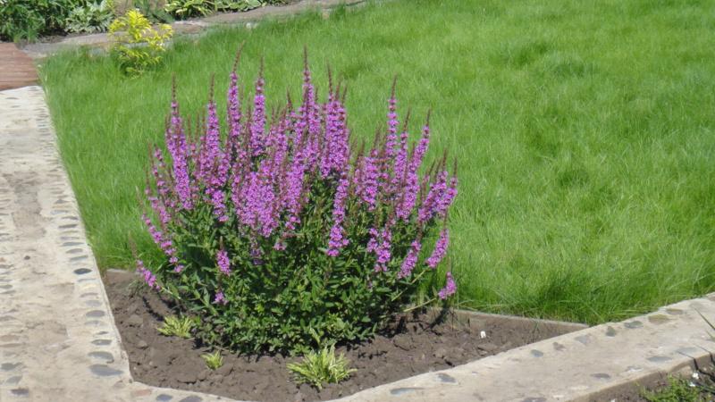 Растение вербена многолетняя в ландшафте